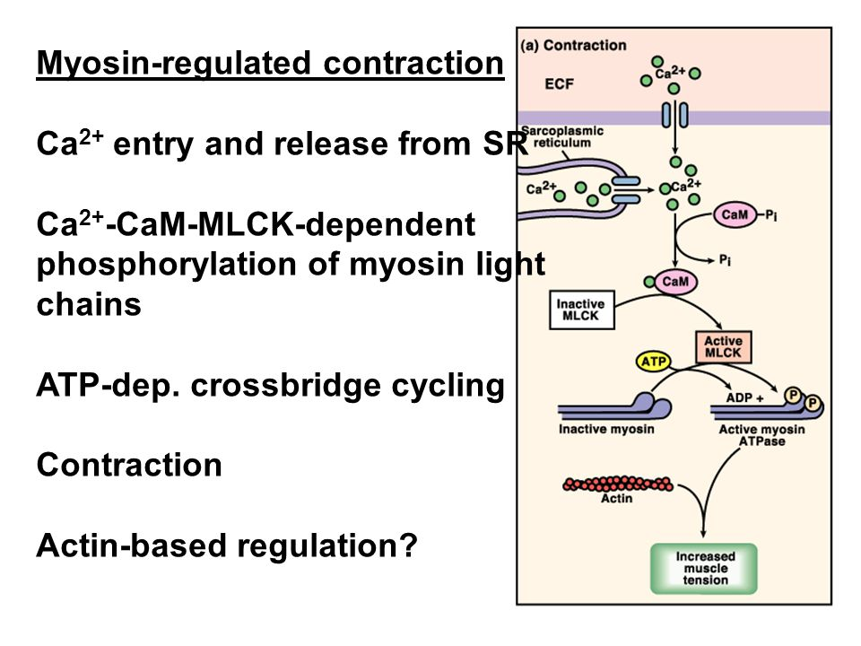 Myosin-regulated contraction Ca2+ entry and release from SR