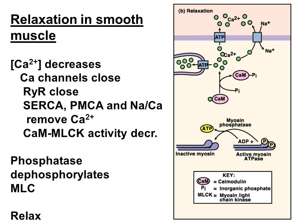 Relaxation in smooth muscle