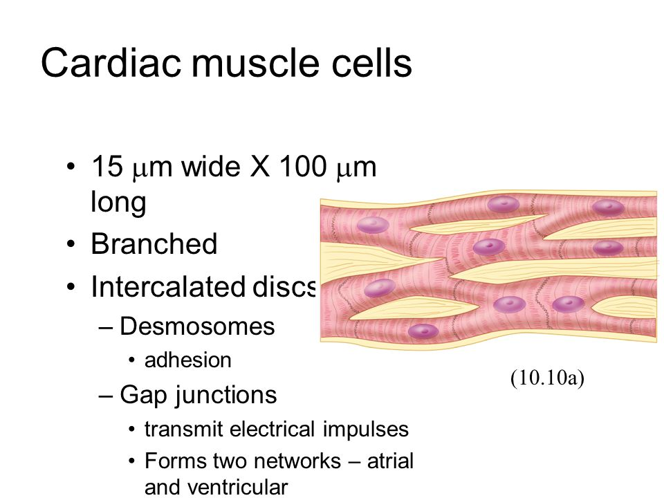 Cardiac muscle cells 15 m wide X 100 m long Branched