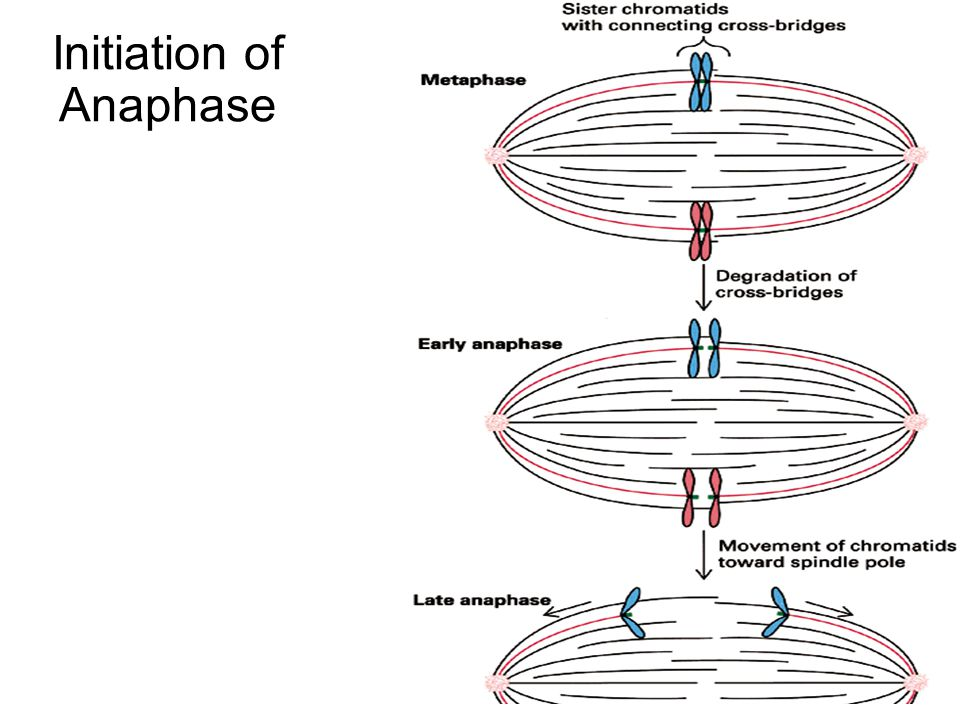 Initiation of Anaphase