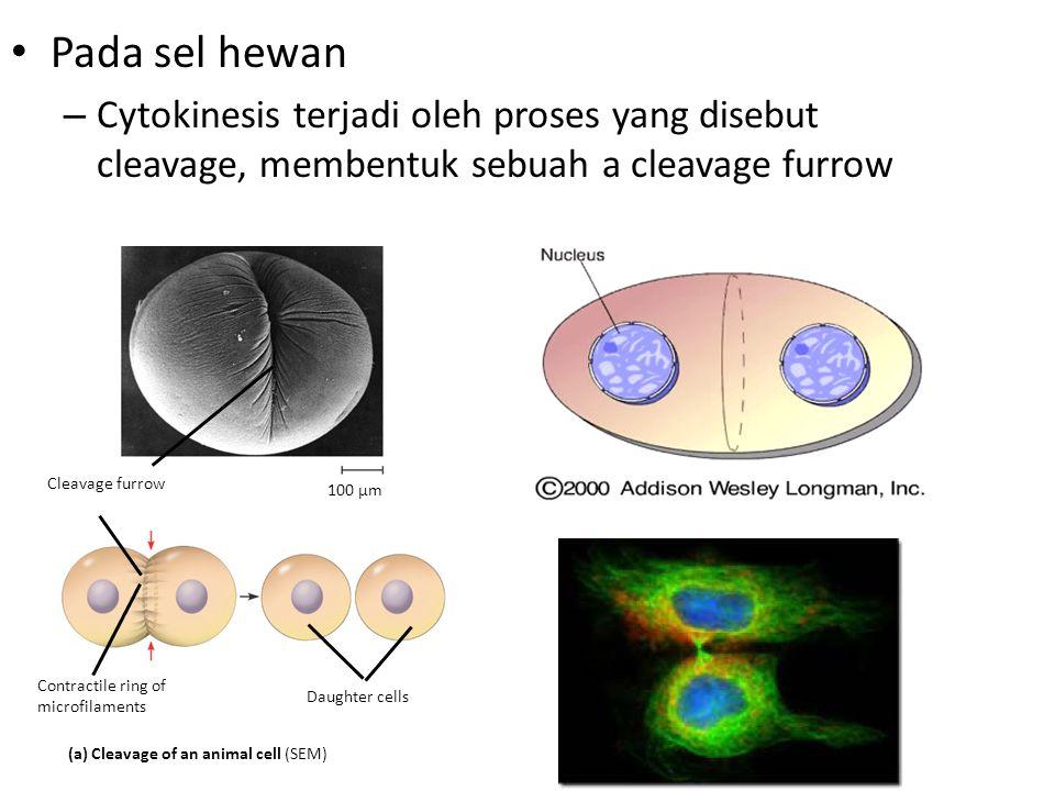 Pada sel hewan Cytokinesis terjadi oleh proses yang disebut cleavage, membentuk sebuah a cleavage furrow.