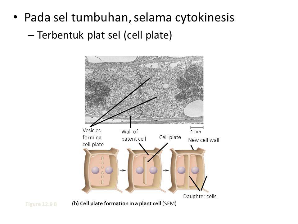 Pada sel tumbuhan, selama cytokinesis