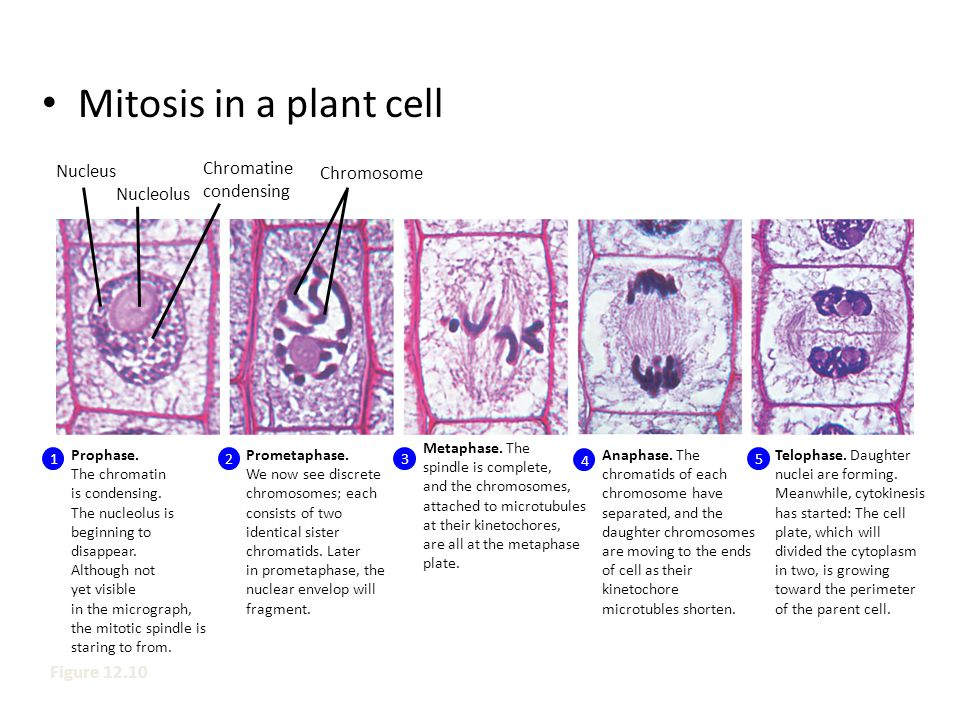 Mitosis in a plant cell Nucleus Chromatine condensing Chromosome