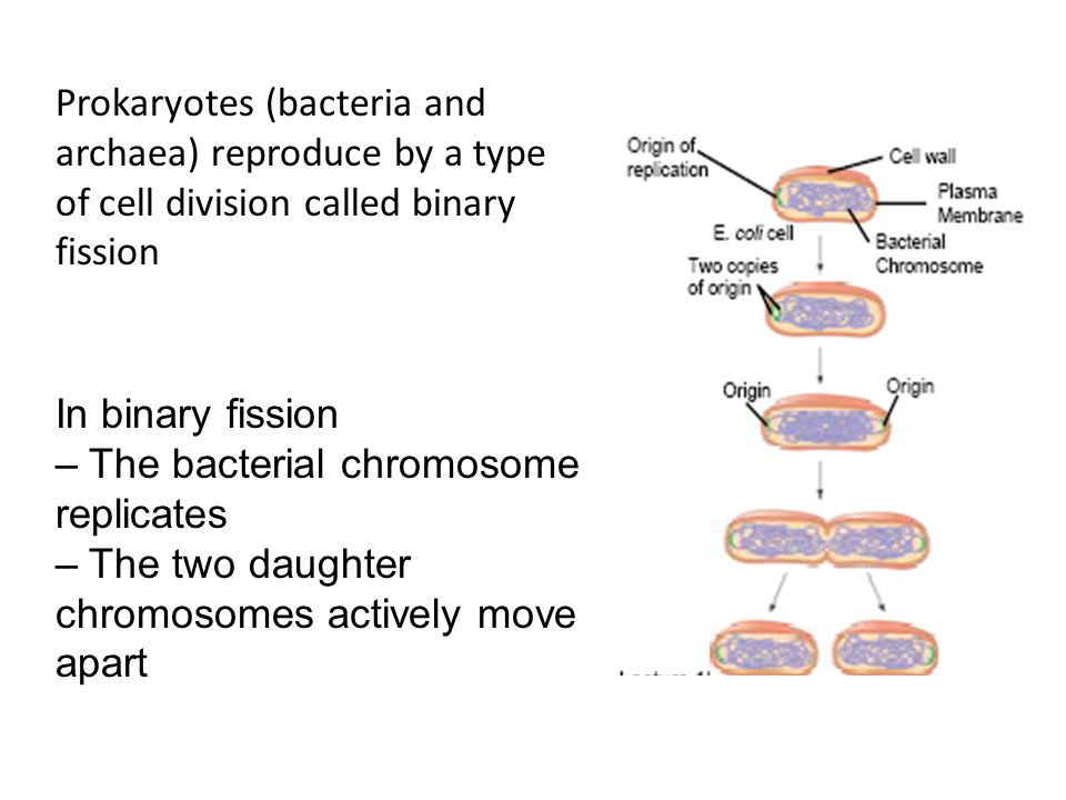 Prokaryotes (bacteria and archaea) reproduce by a type of cell division called binary fission
