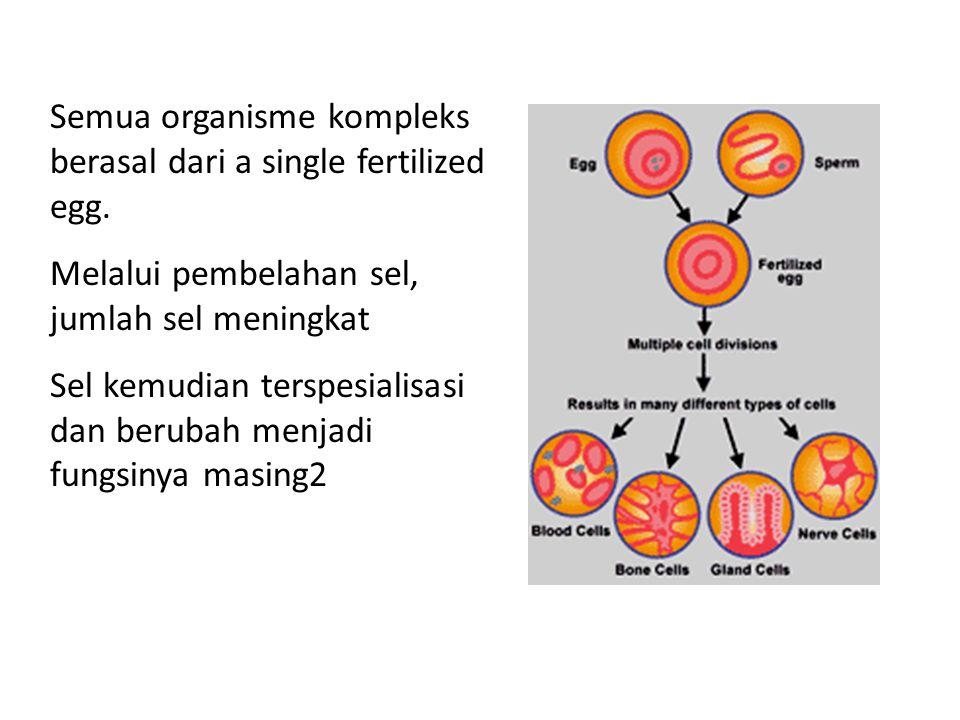 Semua organisme kompleks berasal dari a single fertilized egg.