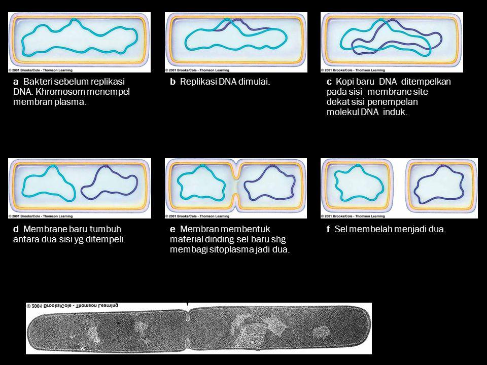 a Bakteri sebelum replikasi DNA. Khromosom menempel membran plasma.