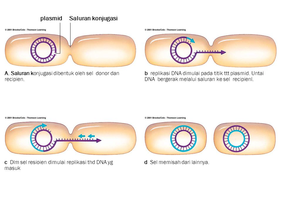 plasmid Saluran konjugasi