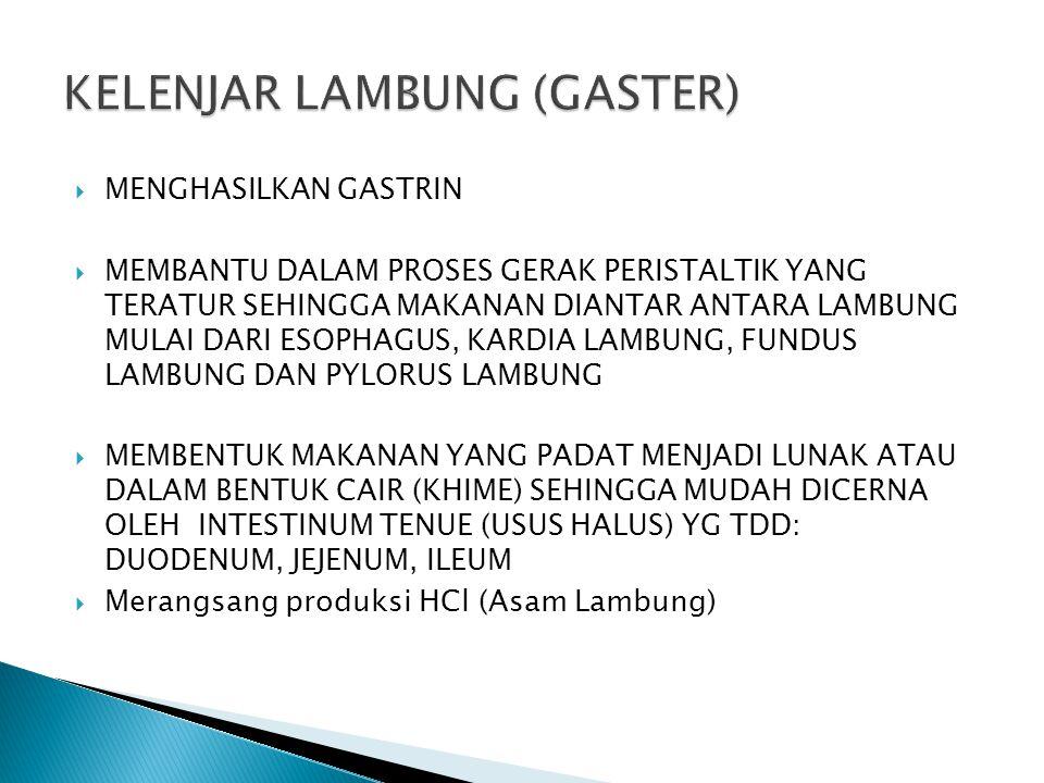 KELENJAR LAMBUNG (GASTER)