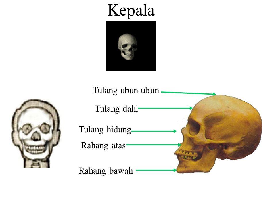 Kepala Tulang ubun-ubun Tulang dahi Tulang hidung Rahang atas