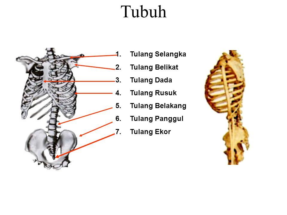 Tubuh Tulang Selangka Tulang Belikat Tulang Dada Tulang Rusuk