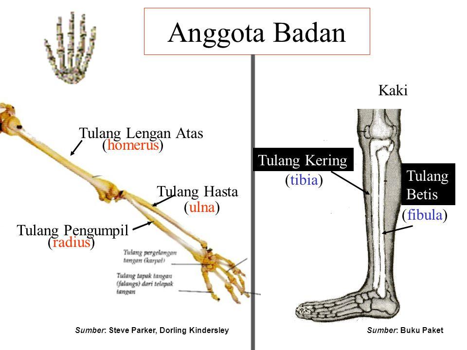 Anggota Badan Kaki Tulang Lengan Atas (homerus) Tulang Kering