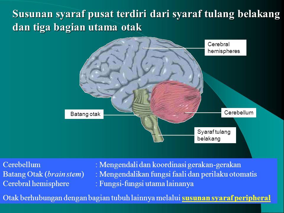Susunan syaraf pusat terdiri dari syaraf tulang belakang dan tiga bagian utama otak