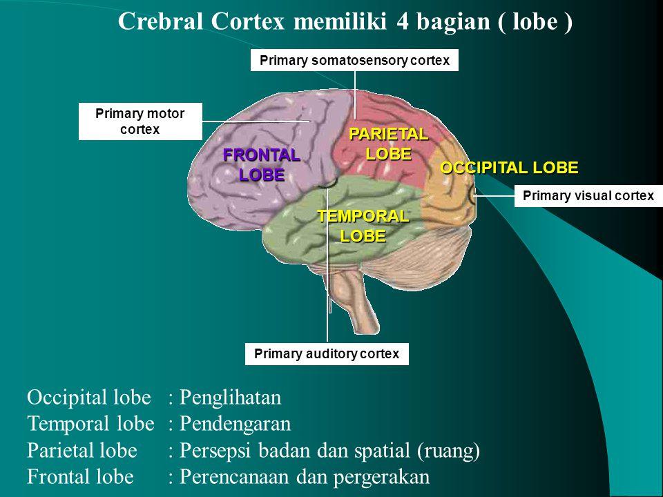 Crebral Cortex memiliki 4 bagian ( lobe )