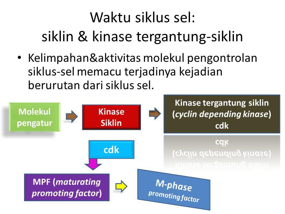 Waktu siklus sel: siklin & kinase tergantung-siklin
