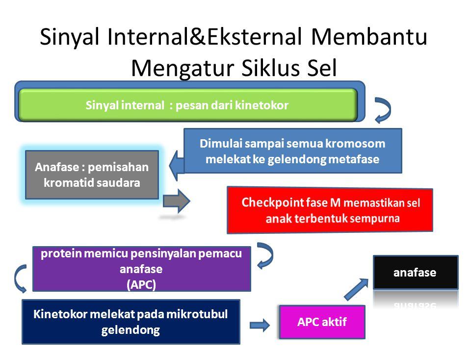 Sinyal Internal&Eksternal Membantu Mengatur Siklus Sel