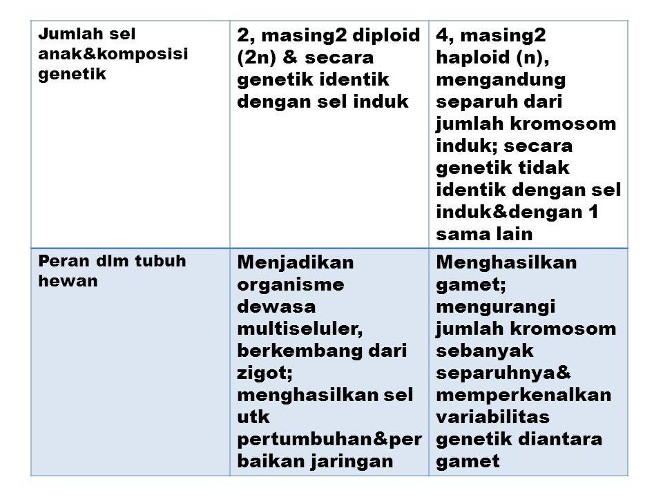 2, masing2 diploid (2n) & secara genetik identik dengan sel induk