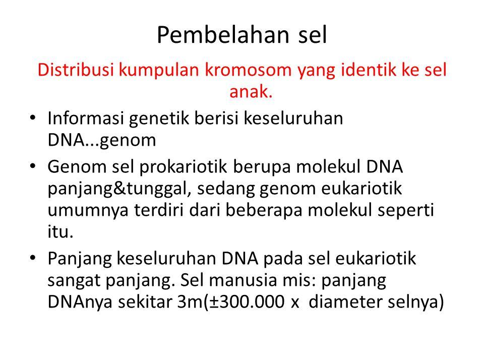 Distribusi kumpulan kromosom yang identik ke sel anak.