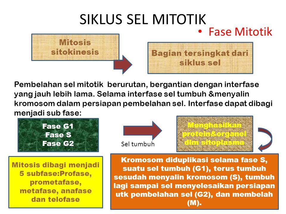 SIKLUS SEL MITOTIK Fase Mitotik Mitosis sitokinesis