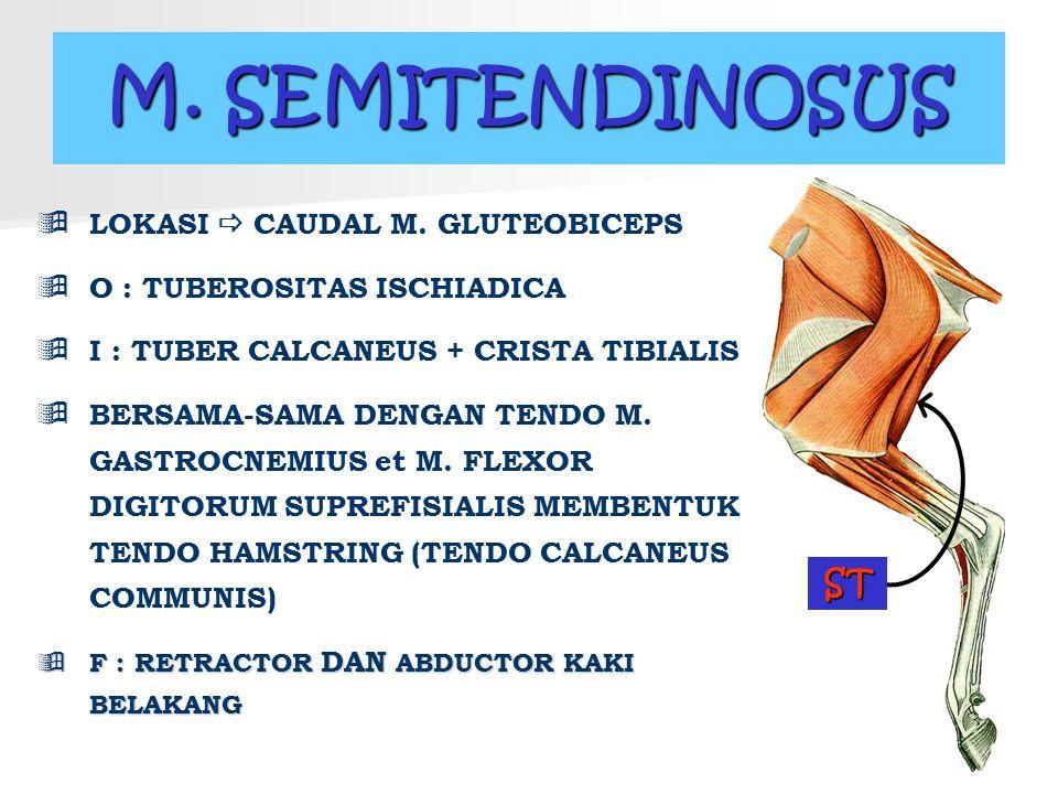 M. SEMITENDINOSUS ST LOKASI  CAUDAL M. GLUTEOBICEPS
