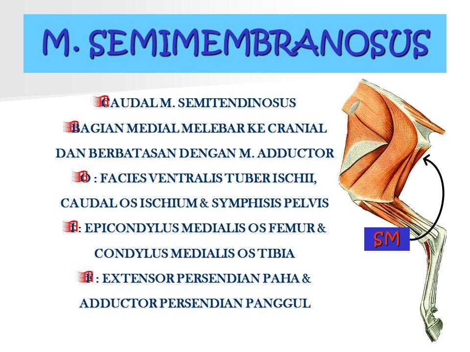 M. SEMIMEMBRANOSUS SM CAUDAL M. SEMITENDINOSUS