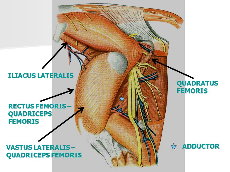 ILIACUS LATERALIS QUADRATUS FEMORIS. RECTUS FEMORIS – QUADRICEPS FEMORIS. VASTUS LATERALIS – QUADRICEPS FEMORIS.