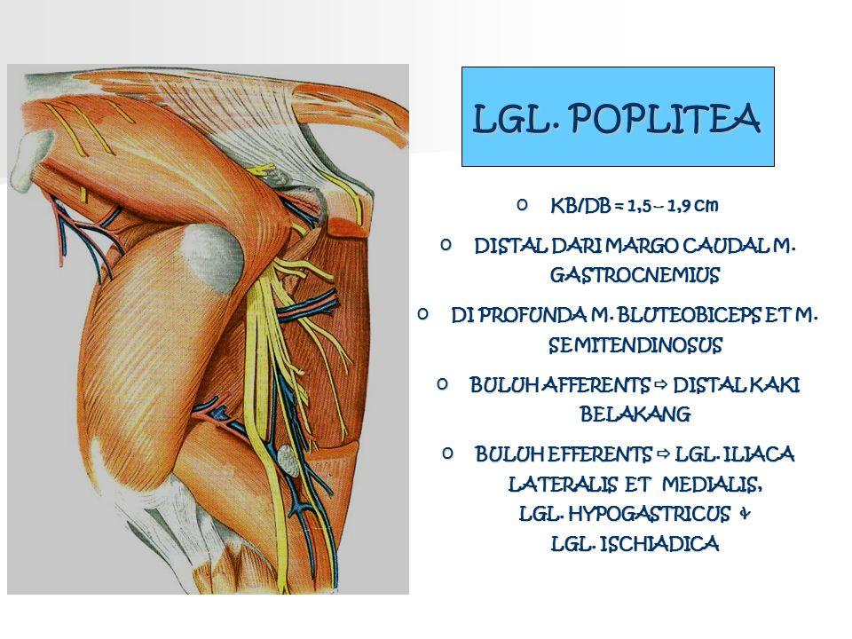LGL. POPLITEA KB/DB = 1,5 – 1,9 cm