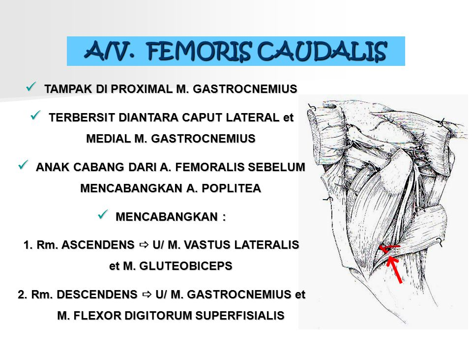 A/V. FEMORIS CAUDALIS TAMPAK DI PROXIMAL M. GASTROCNEMIUS