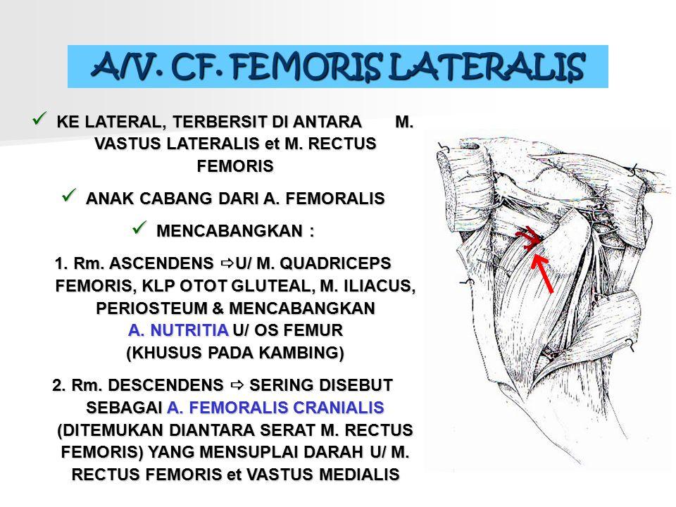 A/V. CF. FEMORIS LATERALIS ANAK CABANG DARI A. FEMORALIS