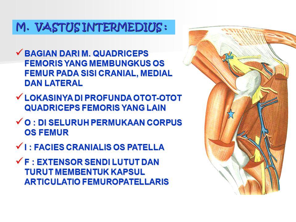 M. VASTUS INTERMEDIUS : BAGIAN DARI M. QUADRICEPS FEMORIS YANG MEMBUNGKUS OS FEMUR PADA SISI CRANIAL, MEDIAL DAN LATERAL.