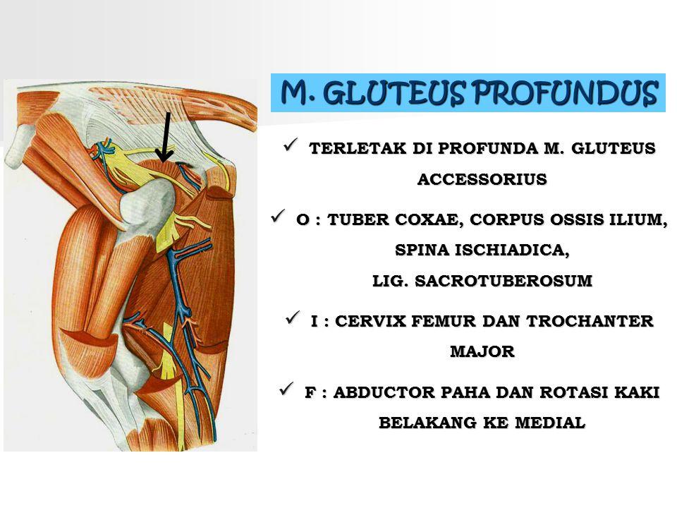 M. GLUTEUS PROFUNDUS TERLETAK DI PROFUNDA M. GLUTEUS ACCESSORIUS