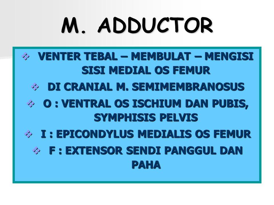M. ADDUCTOR VENTER TEBAL – MEMBULAT – MENGISI SISI MEDIAL OS FEMUR