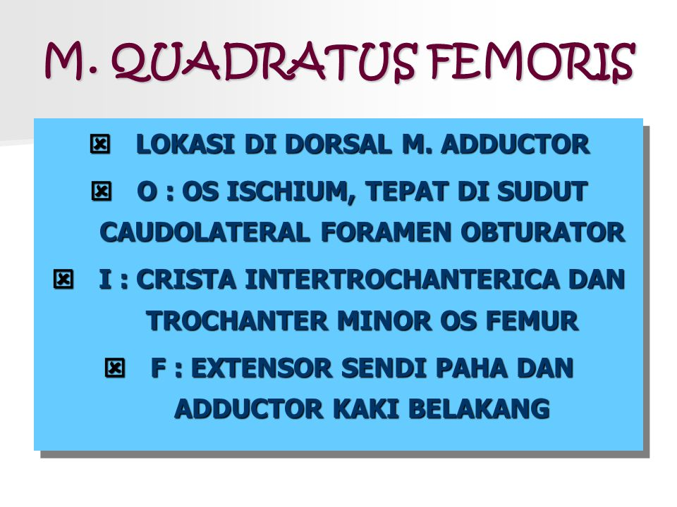 M. QUADRATUS FEMORIS LOKASI DI DORSAL M. ADDUCTOR