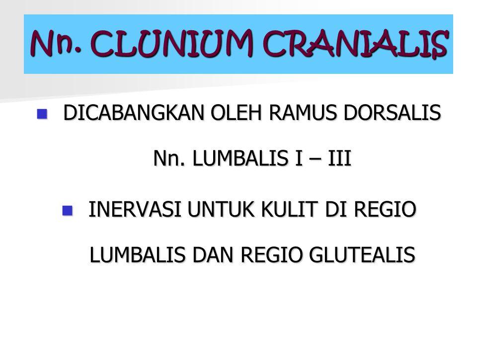Nn. CLUNIUM CRANIALIS DICABANGKAN OLEH RAMUS DORSALIS Nn.