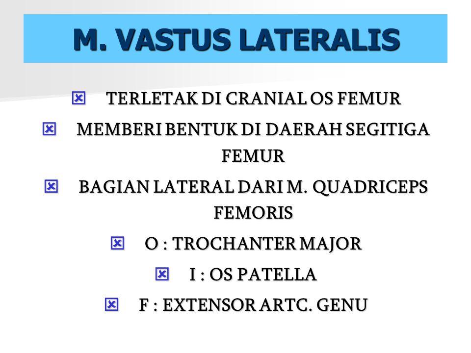 M. VASTUS LATERALIS TERLETAK DI CRANIAL OS FEMUR