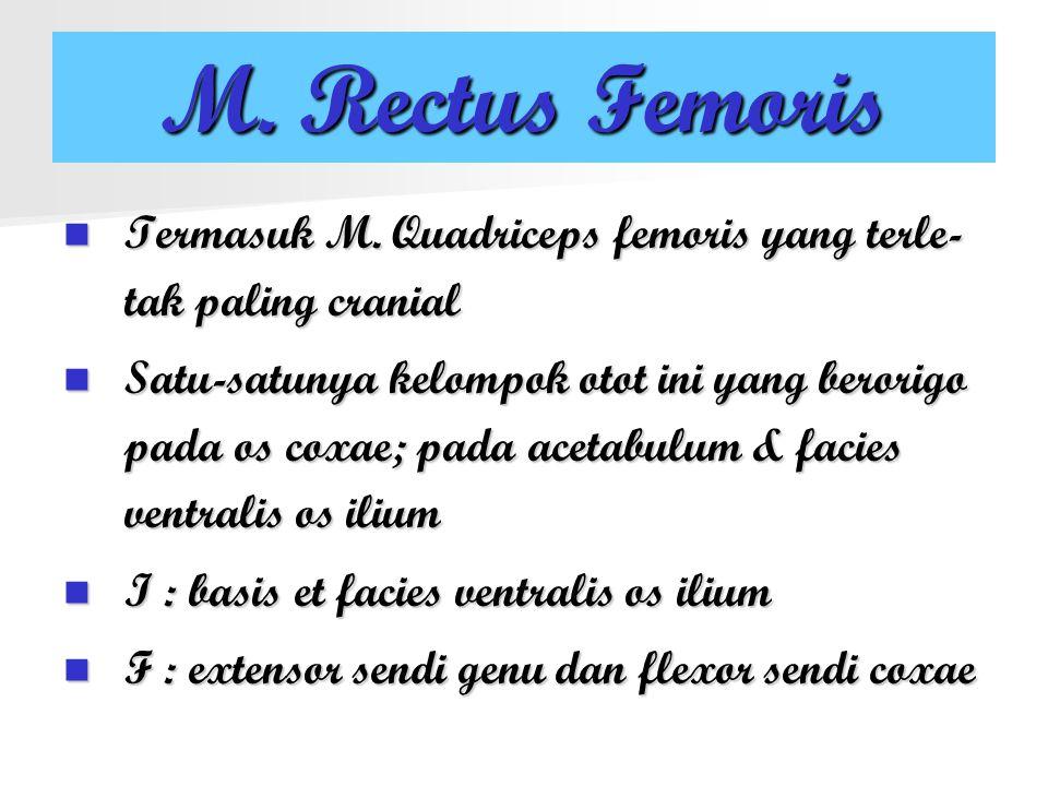 M. Rectus Femoris Termasuk M. Quadriceps femoris yang terle-tak paling cranial.