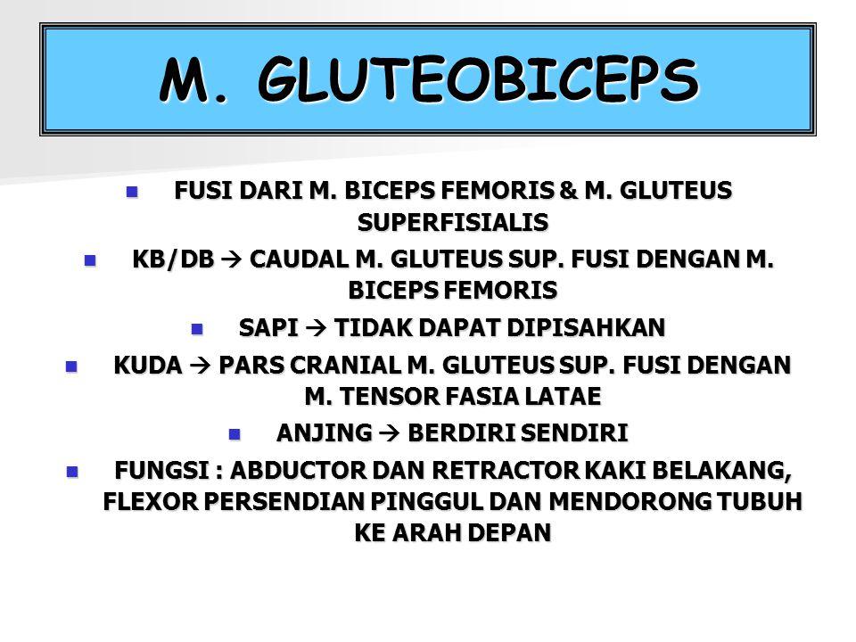 M. GLUTEOBICEPS FUSI DARI M. BICEPS FEMORIS & M. GLUTEUS SUPERFISIALIS
