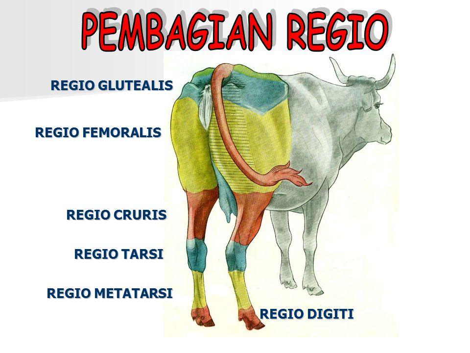 PEMBAGIAN REGIO REGIO GLUTEALIS REGIO FEMORALIS REGIO CRURIS