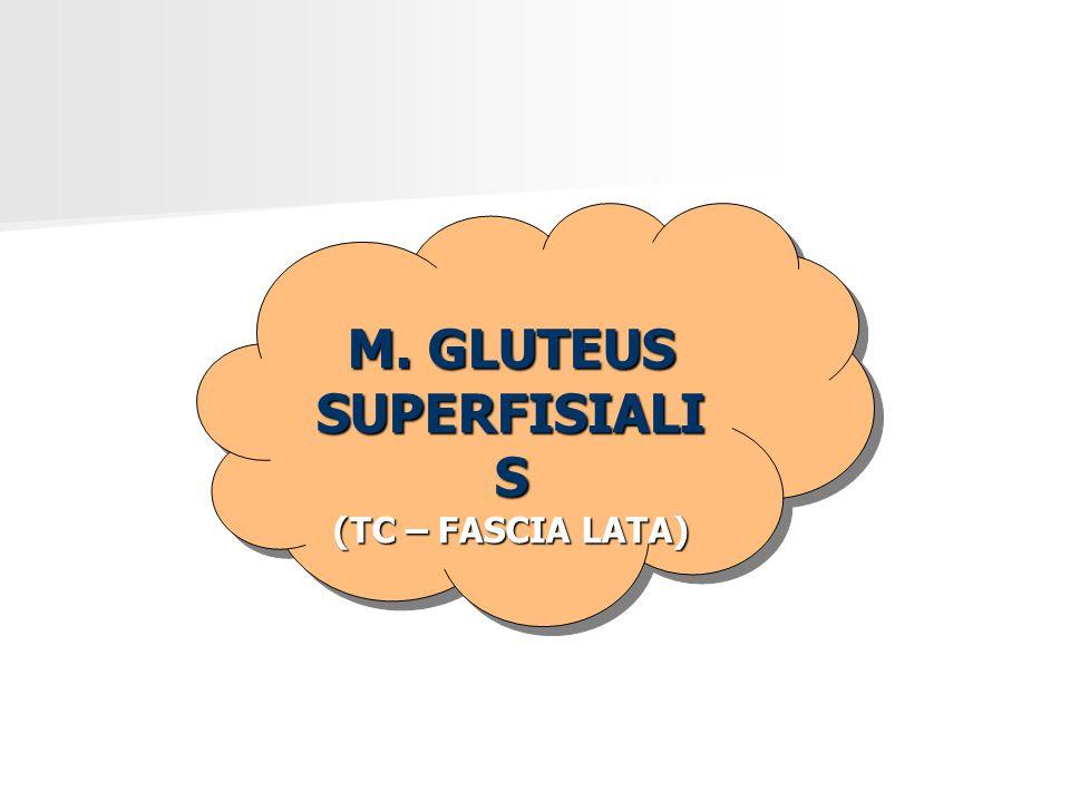 M. GLUTEUS SUPERFISIALIS
