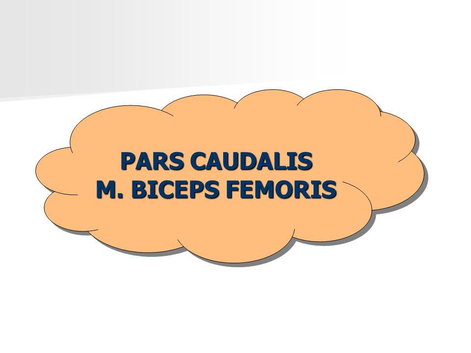 PARS CAUDALIS M. BICEPS FEMORIS