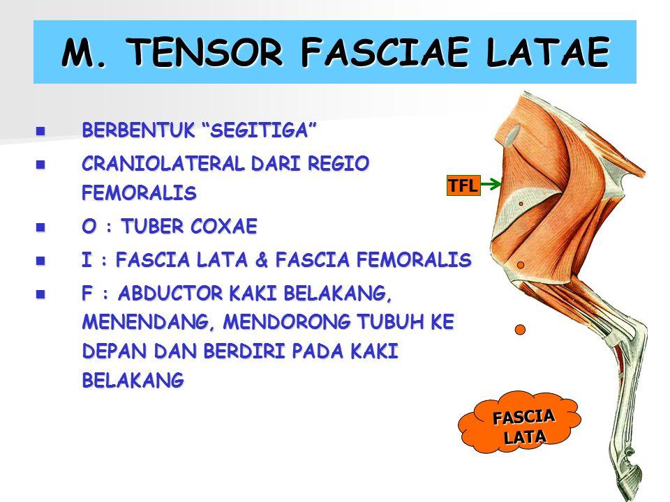 M. TENSOR FASCIAE LATAE BERBENTUK SEGITIGA