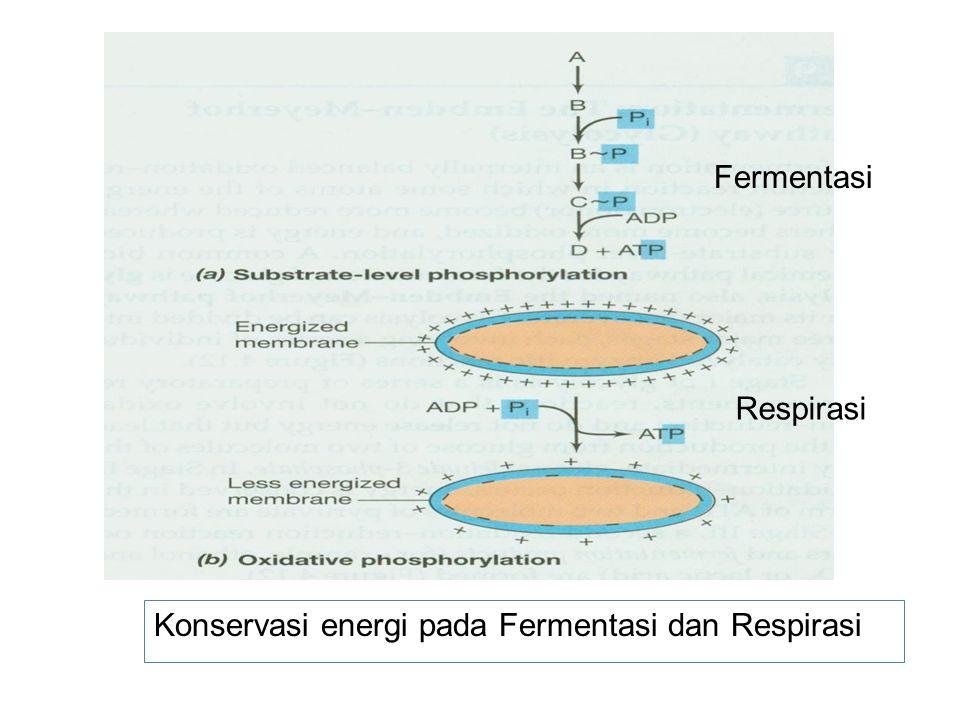 Fermentasi Respirasi Konservasi energi pada Fermentasi dan Respirasi