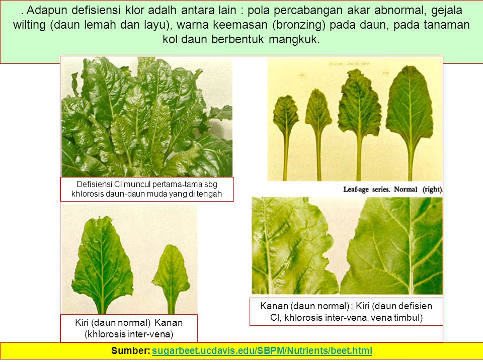 Sumber: sugarbeet.ucdavis.edu/SBPM/Nutrients/beet.html