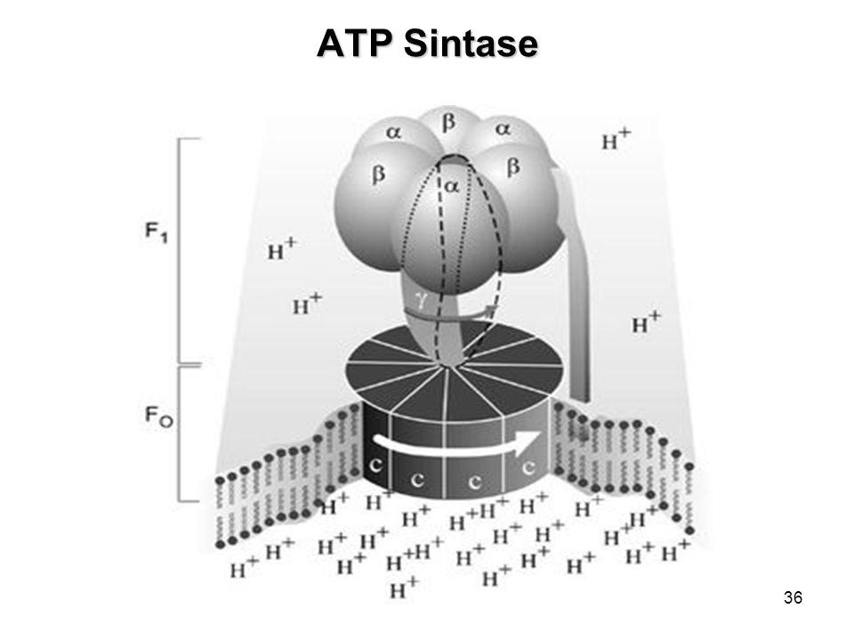 ATP Sintase