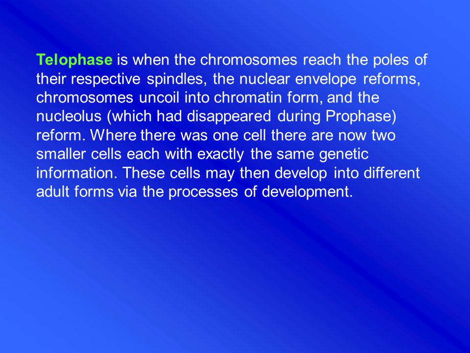 Telophase is when the chromosomes reach the poles of their respective spindles, the nuclear envelope reforms, chromosomes uncoil into chromatin form, and the nucleolus (which had disappeared during Prophase) reform. Where there was one cell there are now two smaller cells each with exactly the same genetic information. These cells may then develop into different adult forms via the processes of development.
