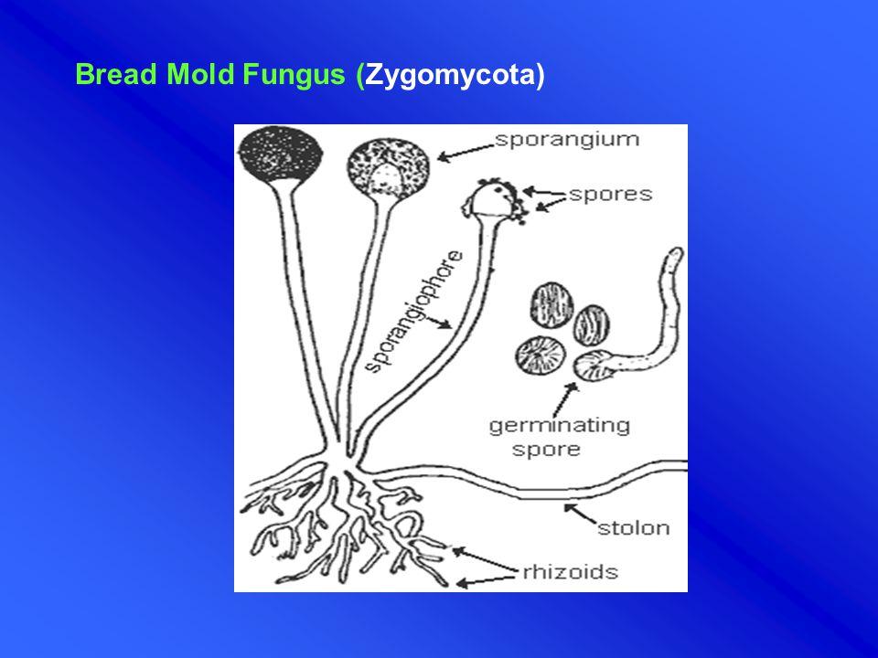 Bread Mold Fungus (Zygomycota)