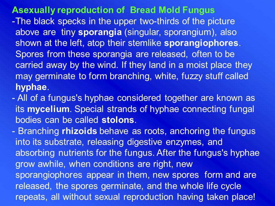 Asexually reproduction of Bread Mold Fungus