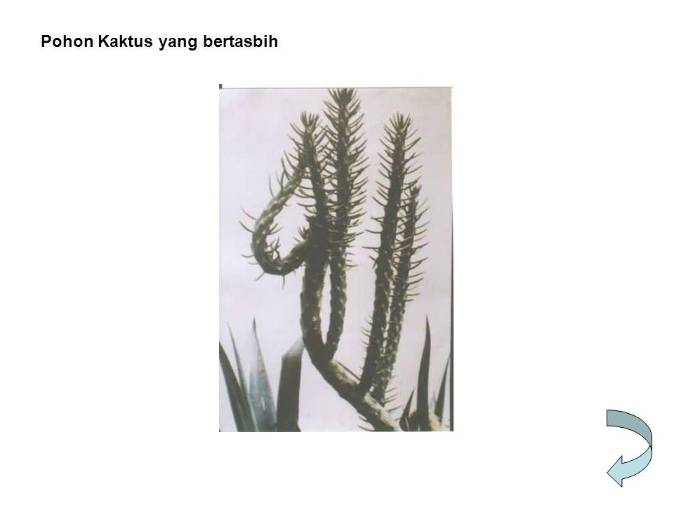 Pohon Kaktus yang bertasbih
