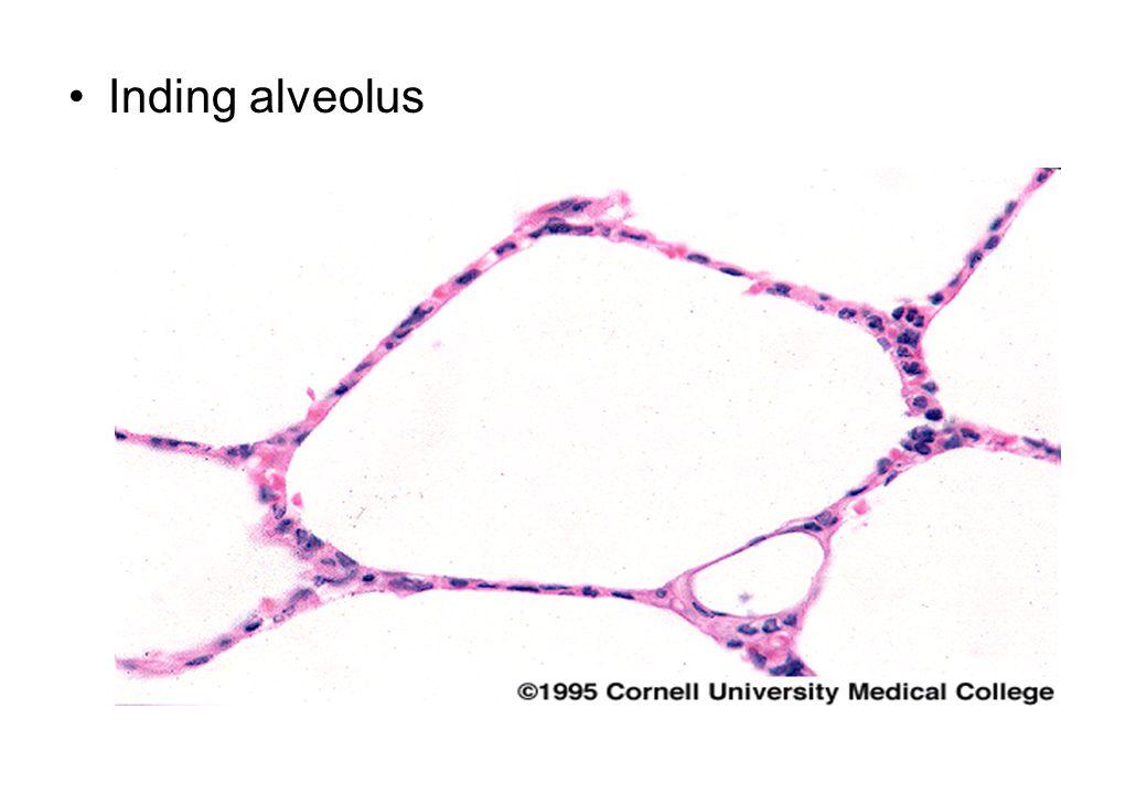 Inding alveolus