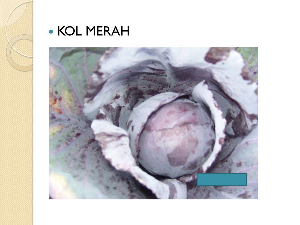 KOL MERAH