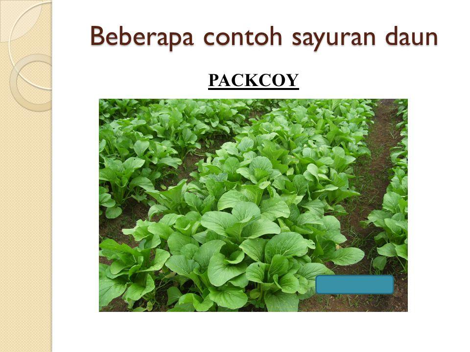 Beberapa contoh sayuran daun